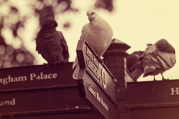 Pigeons on a sign post, with one looking at the camera