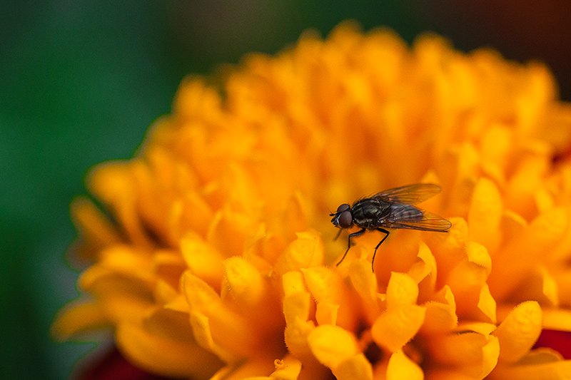 A closeup of a fly on a flower