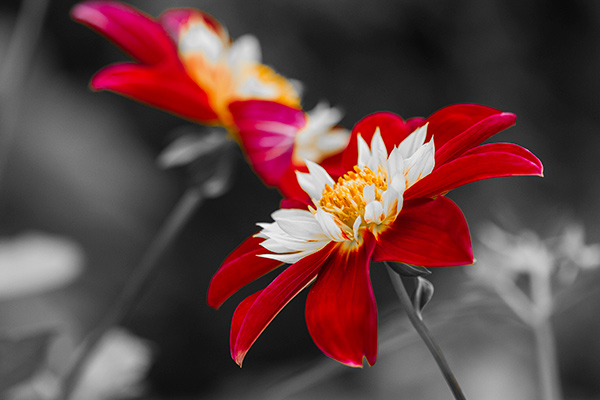 Red and white flowers against a grey background