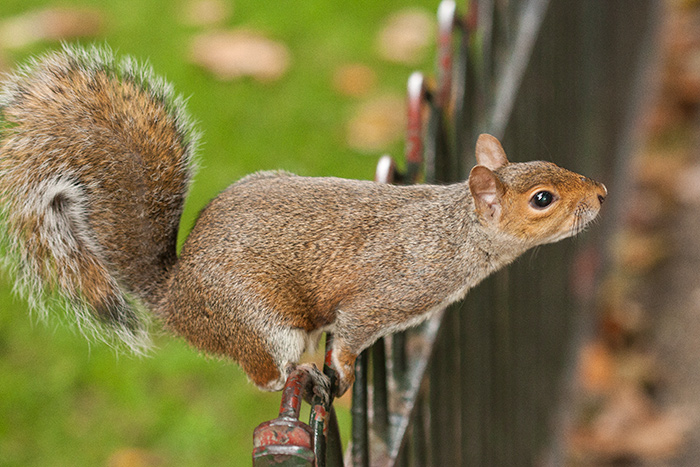 A squirrel standing on a fence