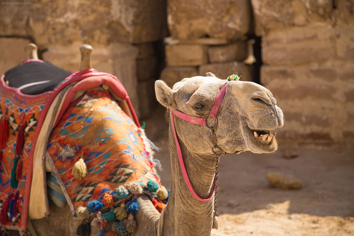 A camel near the pyramids of Giza